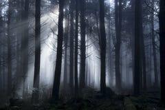 轻穿过树在一有雾的天期间在森林 免版税图库摄影