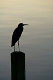 轻蓝色eveing的苍鹭温暖少许的剪影 免版税图库摄影