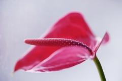 轻轻地一朵兰花的花的桃红色开头在一个绿色词根的 库存照片