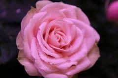 轻轻地在盛开的桃红色玫瑰 免版税库存照片