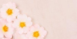 轻轻地在轻的背景的桃红色狂放的玫瑰色花 库存照片