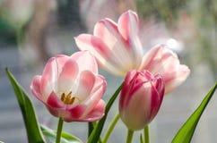 轻轻地在轻的背景的白色桃红色三郁金香 免版税库存图片