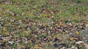 轻风移动横跨稀薄的绿草的干燥叶子 股票视频