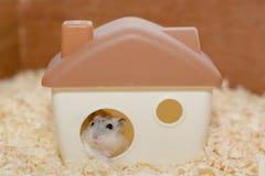 较不穷的仓鼠 单独在家居住 库存图片