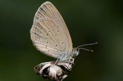 较少放牧蓝色Zizina奥蒂斯美丽的蝴蝶特写镜头 免版税图库摄影