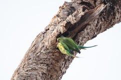 输入他们的嵌套漏洞的二只绿色鹦鹉 免版税库存图片
