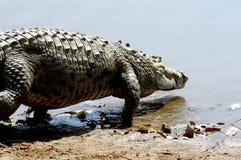 输入尼罗水的鳄鱼 免版税库存照片