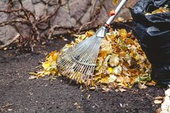 辗压犁耙收集在大堆的下落的叶子 库存照片
