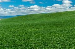 辗压绿色麦子的农田 免版税库存照片
