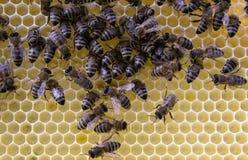 辛劳者,观点的关闭的在蜂窝的工作的蜂 免版税图库摄影
