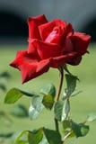 辣城市的玫瑰 库存图片