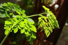 辣木科叶子在阳光下, 免版税图库摄影