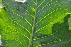 辣根叶子在阳光下 免版税图库摄影