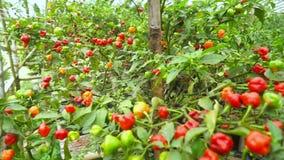 辣椒树在庭院里 股票视频