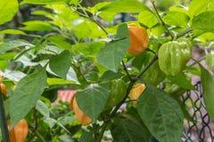 辣椒植物哈瓦那人 库存图片