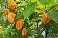 辣椒植物哈瓦那人 免版税库存图片