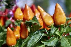 辣椒植物在菜园里 免版税库存图片