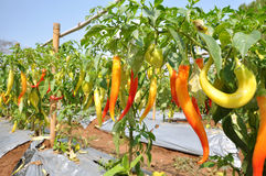 辣椒植物 库存照片