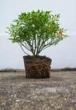 辣椒植物 免版税图库摄影