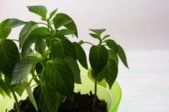 年轻辣椒粉植物,关闭,拷贝空间 免版税库存照片