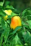 辣椒粉黄色 库存照片