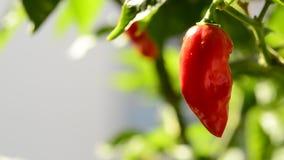 辣椒纸灯用红色,成熟辣椒 股票录像