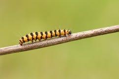 辰砂飞蛾毛虫Tyria jacobaeae在植物的词根栖息 免版税库存照片