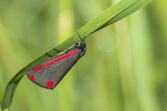 辰砂飞蛾(Tyria jacobaeae) 免版税库存图片
