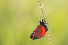 辰砂飞蛾(Tyria jacobaeae) 库存图片