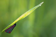 辰砂飞蛾(Tyria jacobaeae) 库存照片