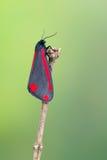 辰砂飞蛾- Tyria jacobaeae 库存照片