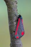辰砂飞蛾- Tyria jacobaeae 图库摄影