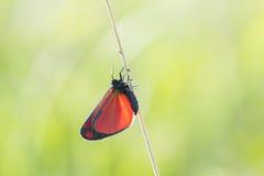 辰砂飞蛾Tyria jacobaeae 免版税库存图片