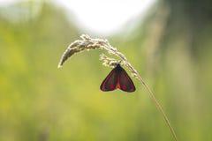 辰砂飞蛾Tyria jacobaeae 库存图片
