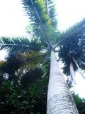 边境棕榈树 免版税库存图片