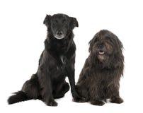 边界品种大牧羊犬夫妇狗混合 免版税库存图片