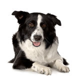 边界品种大牧羊犬 免版税库存照片