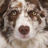边界接近的大牧羊犬merle红色 免版税库存照片