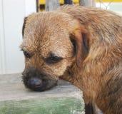 边界狗品种的狗嗅一条绿色长凳 库存照片