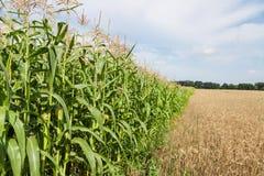 边界玉米和麦田 图库摄影