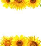 边界用向日葵 免版税库存照片
