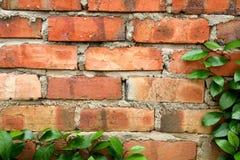 边界砖爬行的叶子墙壁 免版税库存图片