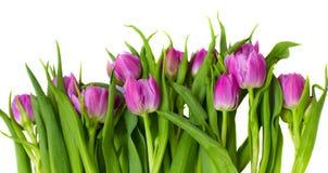边界紫色郁金香 库存照片