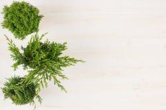 边界绿色罐顶视图的针叶树植物的装饰构成在白色木板背景 空白复制空间 免版税库存图片