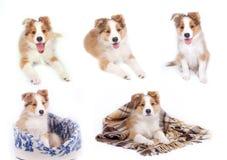 边界coliie查出的pupies 免版税库存照片