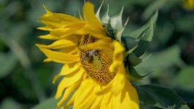 从边的向日葵头 影视素材