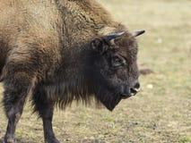 从边的欧洲野牛 免版税库存图片