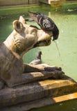 边的锡耶纳饮用的鸽子下来 图库摄影