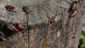 边缘爬行的甲虫 股票视频