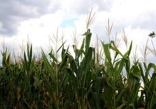 边缘玉米成长在一个领域在希腊 多云天空 免版税库存图片